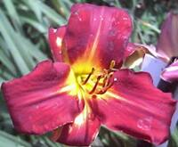 Daylily Catalog C D Laurel Hill Nursery Llc